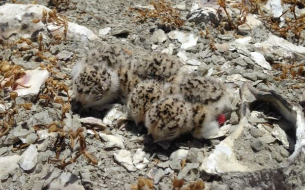 snowy plovers from SFBO 2017 report