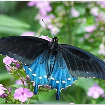pipevine-swallowtail-pollinator-posse-oakland